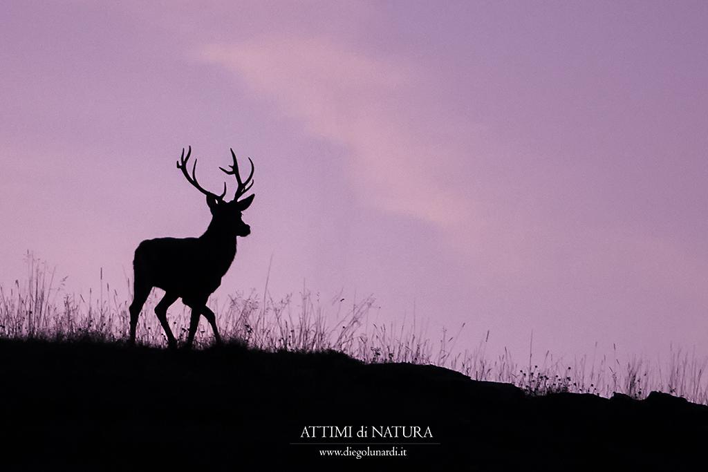 #cervo #bramito #bosco #natura