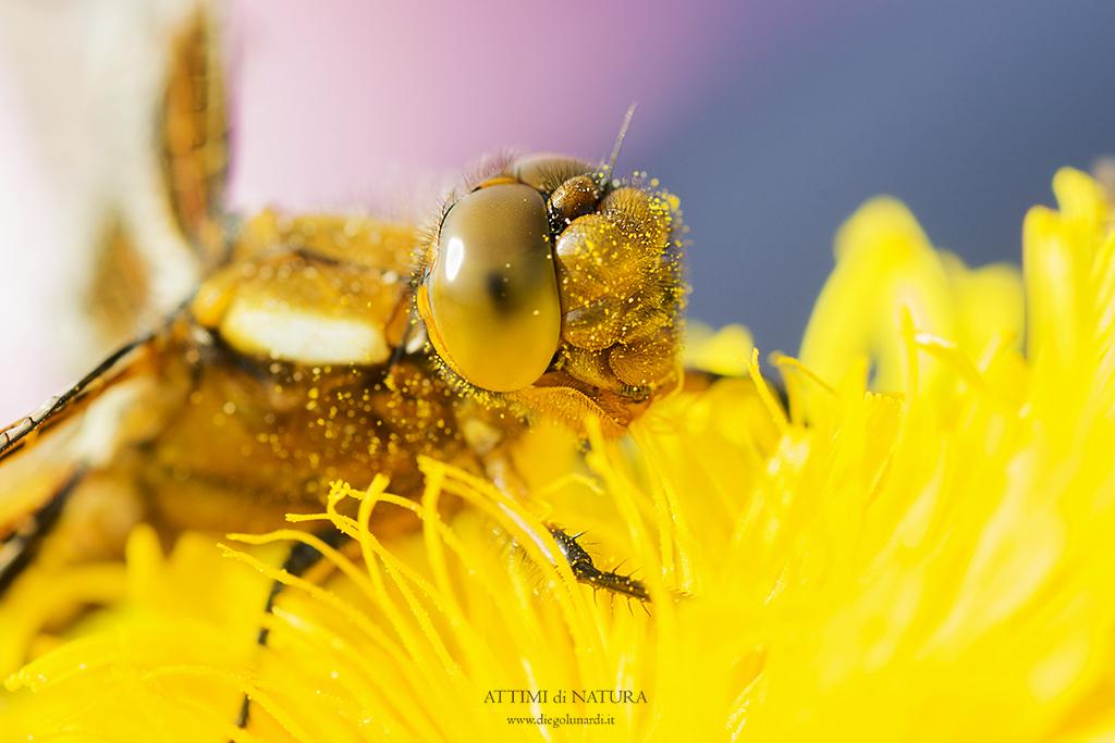 #libellula #Macro #fiore #insetto #wildnatura