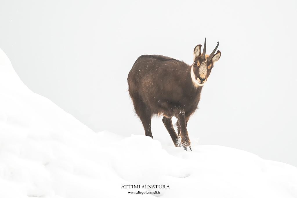 Camoscio, Fauna, Ungulati, Inverno