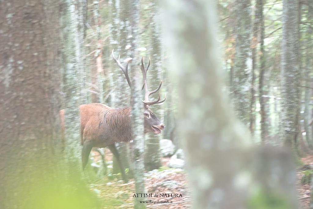 #Cervo #Cervo_nobile #Bramito #Natura #Fauna #Ungulati
